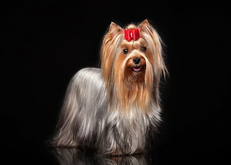 Yorkie kobiety pies na czarnym tle zdjęcia royalty free