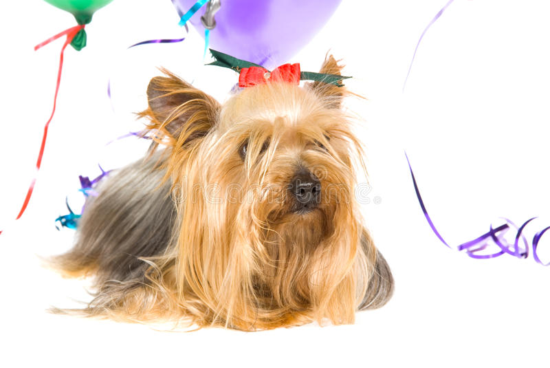 Yorkie With Party Balloons Stock Photos