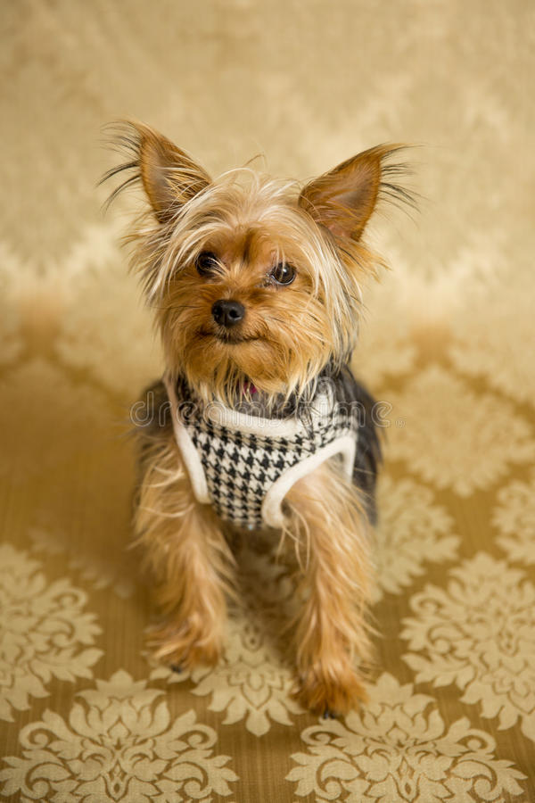 Yorkie Portrait. Photograph of a small dog in an animal rescue shelter stock images