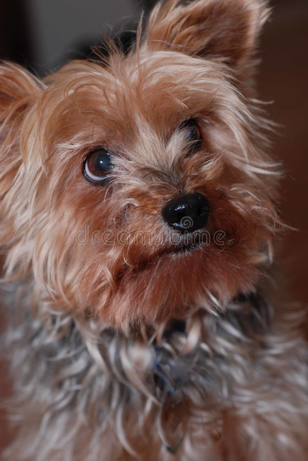 Yorkie Pup. Cute little yorkie pup looking off in to the distance royalty free stock photos