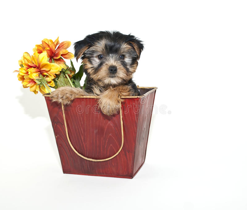 Yorkie Puppy stock photography