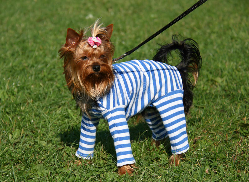 Download Yorkie puppy stock photo. Image of charming, puppy, hair - 27066682