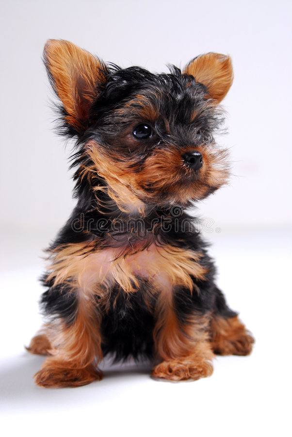 Yorkie Puppy royalty free stock photography