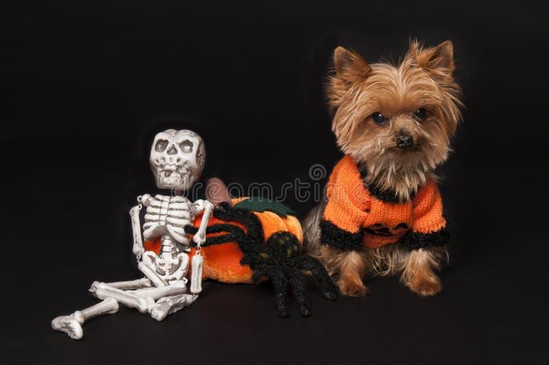 Yorkie ready for halloween stock photo