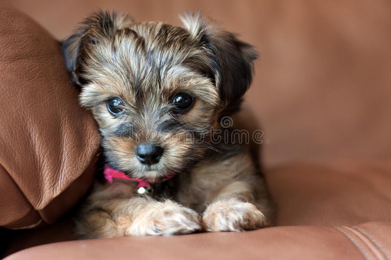 yorkie and shih tzu puppies a yorkie shih tzu mixed puppy stock photo image of 1124