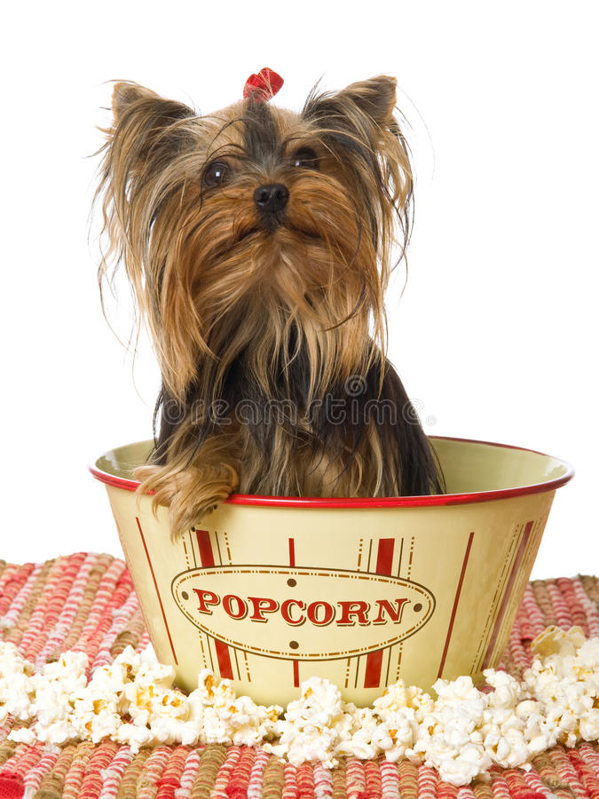 Download Yorkie Sitting In Popcorn Bowl Stock Photo - Image: 10391260