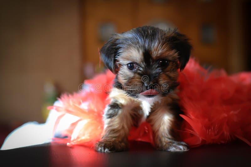 Yorkie sveglio Shih Tzu Puppy con il boa rosso immagini stock libere da diritti
