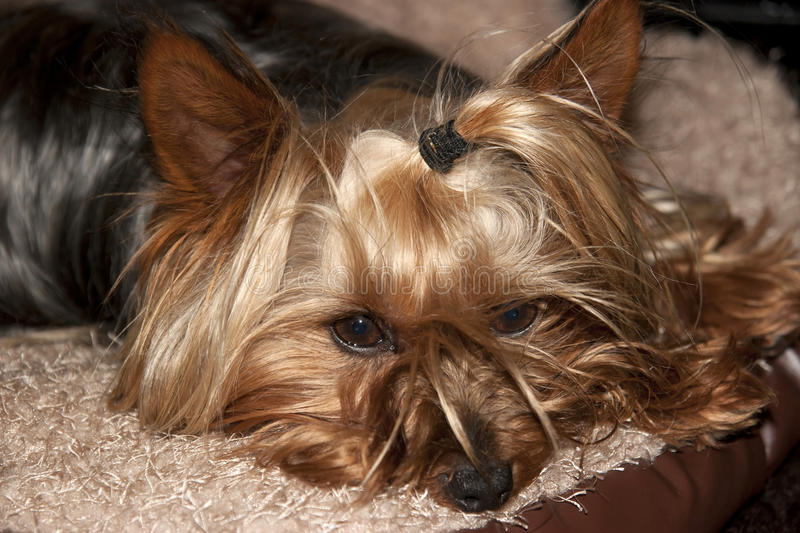 Download Yorkie Terrier Resting In Its Basket Stock Photo - Image: 33299490