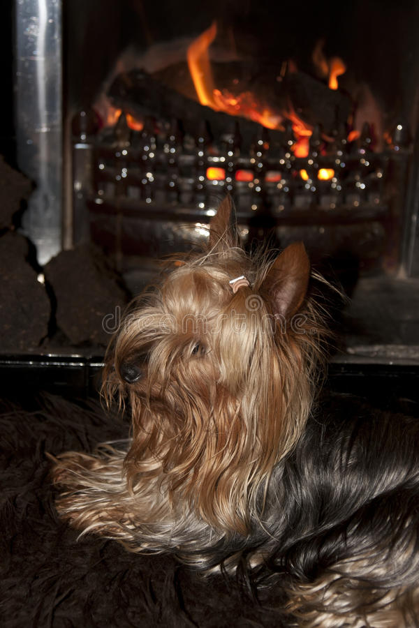 Download Yorkie Terrier Sitting In Front Of Fire Stock Photo - Image: 33299544