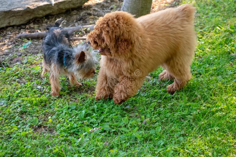 A yorkie and a Toy Poodle. Playing outside in the yard together royalty free stock photos