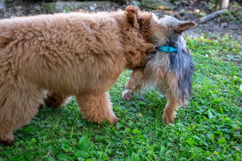 A yorkie and a Toy Poodle. Playing outside in the yard together stock photography