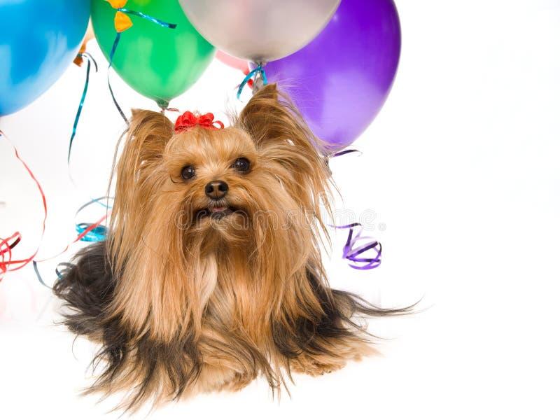 Yorkie Welpe mit Ballonen lizenzfreies stockbild