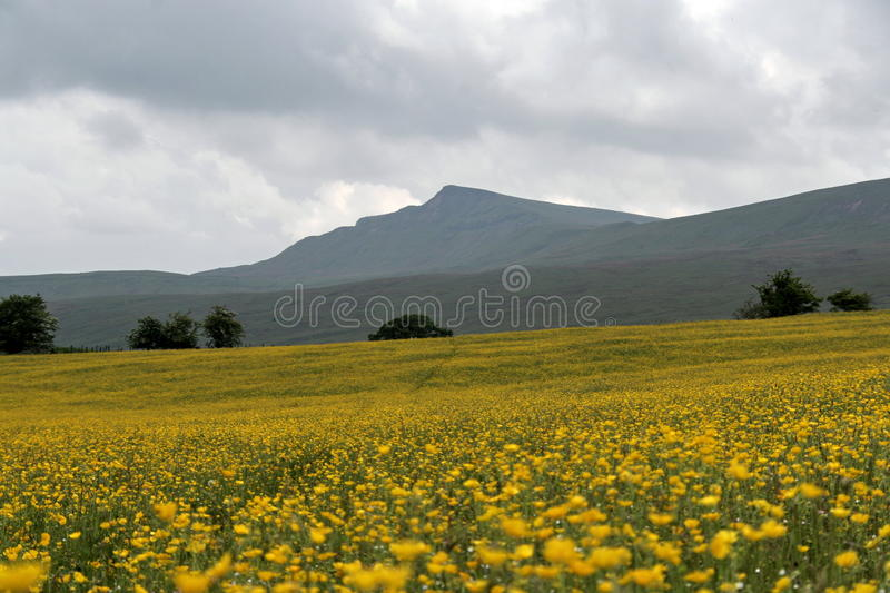 Download Yorkshire Dales, Buttercup Field Stock Image - Image: 10909827