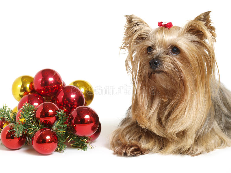 Yorkshire dog with christmas balls. On white stock image