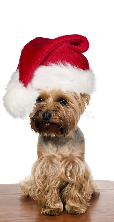 Yorkshire dog with christmas cap. A yorkshire dog on brown table with christmas cap stock photos