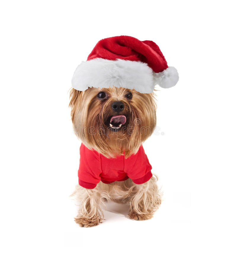 Yorkshire dog with xmas santa hat. Little cute yorkshire dog with xmas santa hat royalty free stock photo