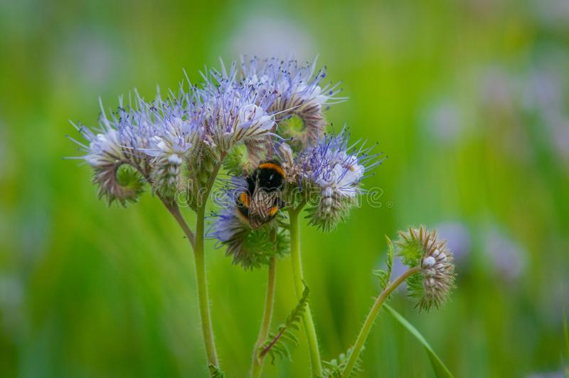 Honey Bee Collecting Pollen In A Warm Summer Meadow stock photos