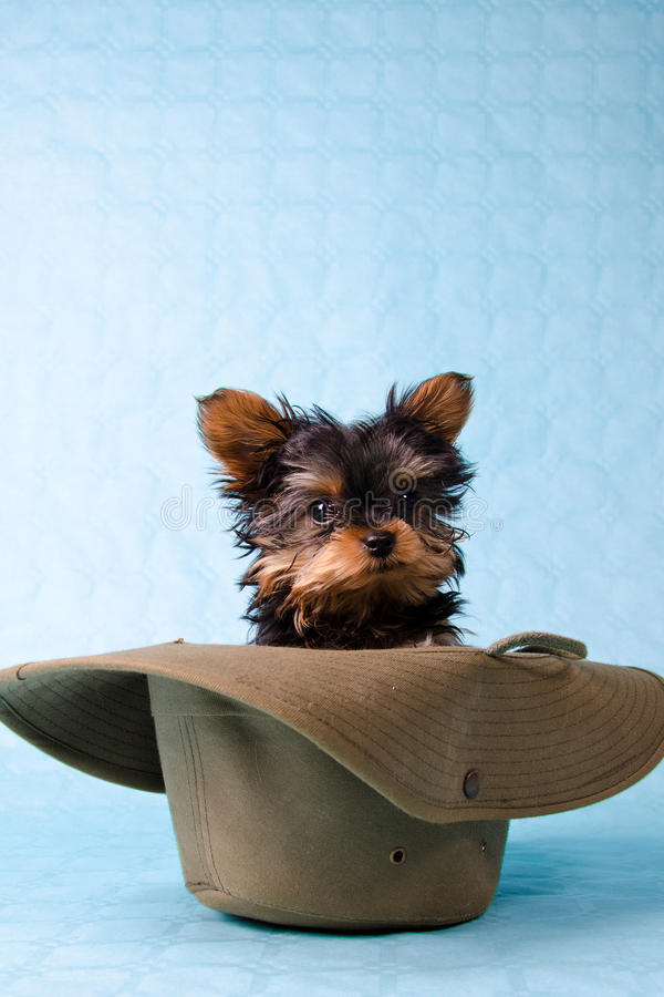 Download Yorkshire pup in hat stock image. Image of companion - 19814087