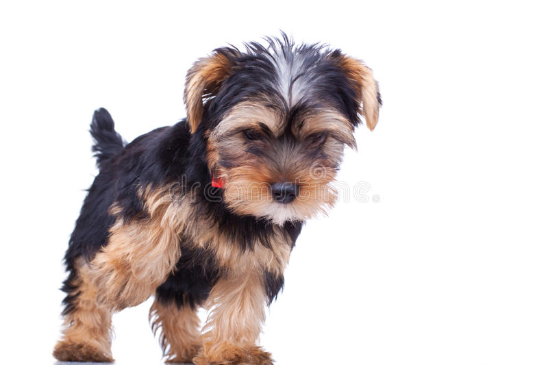 Yorkshire Puppy Standing And Looking Stock Photography