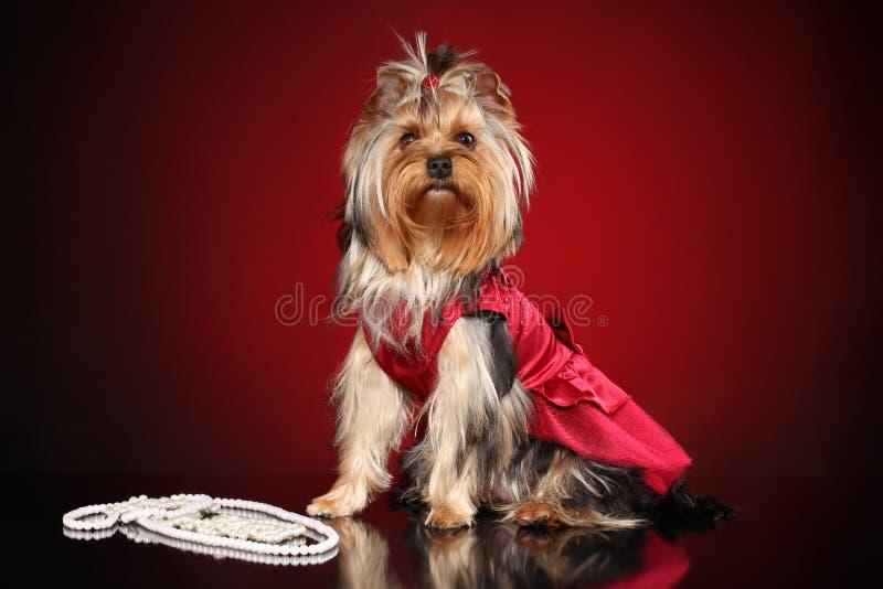 Yorkshire Terrier à la mode Mode de chien image libre de droits