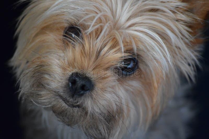 Yorkshire Terrier lizenzfreies stockbild