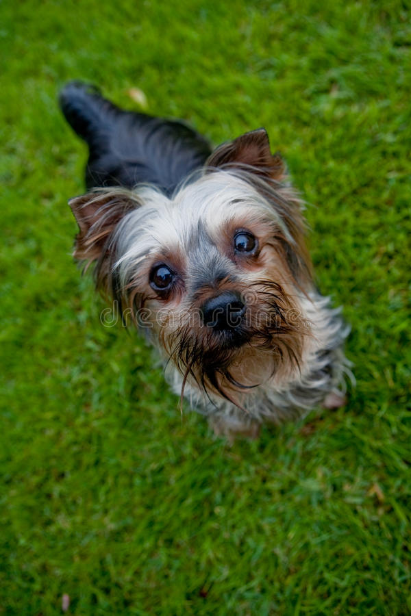 Download Yorkshire terrier stock image. Image of groom, grass - 13555003