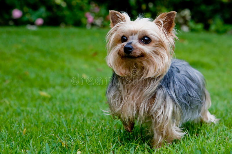 Download Yorkshire terrier stock image. Image of dogs, breed, cute - 13555277