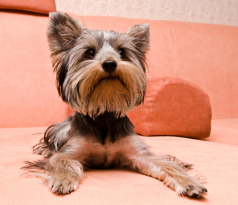Yorkshire-Terrier stockfotografie