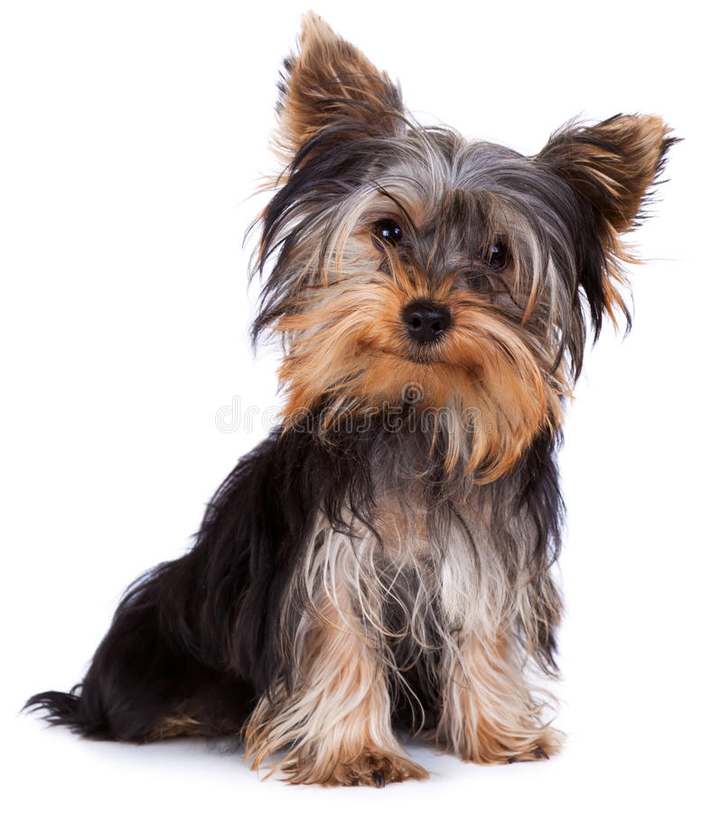 Download Yorkshire terrier stock photo. Image of background, camera - 18303166