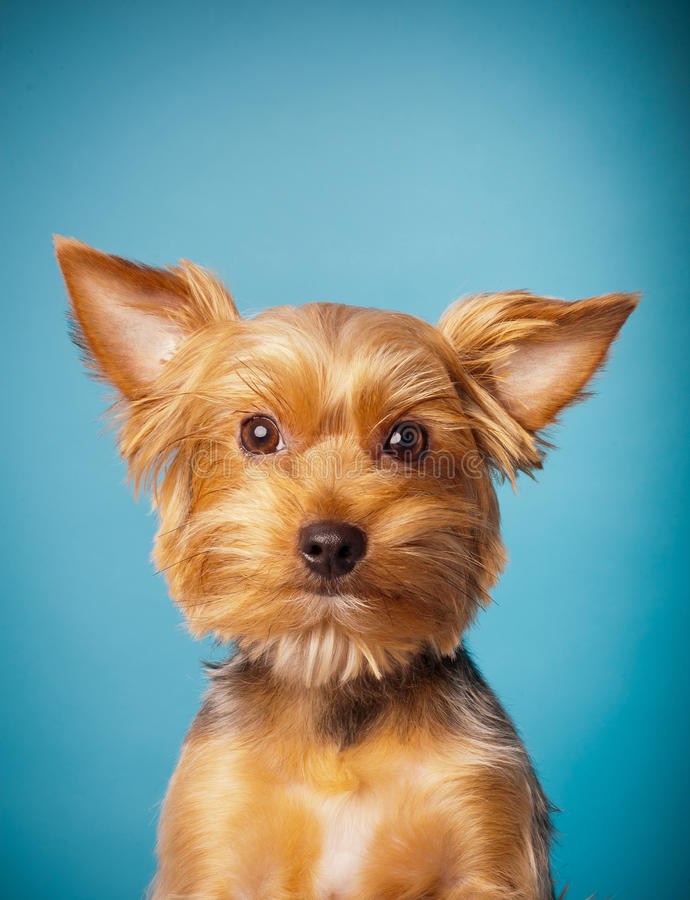 Download Yorkshire terrier stock photo. Image of background, blue - 23260586