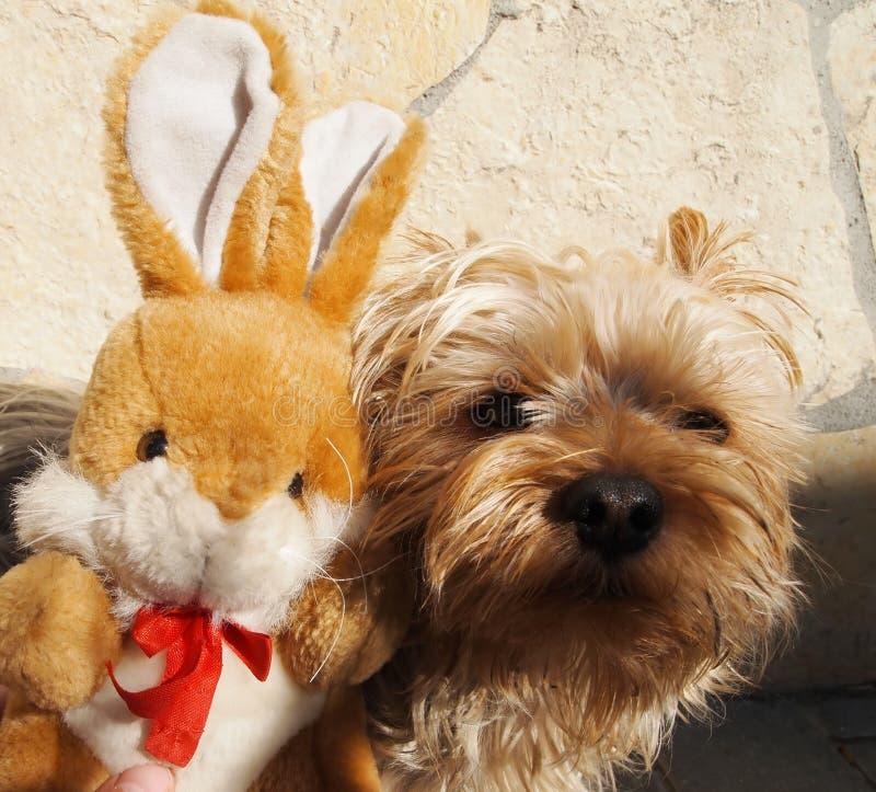 Download Yorkshire Terrier arkivfoto. Bild av husdjur, kanin, unge - 27283790