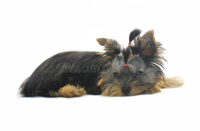 Download Yorkshire Terrier stock image. Image of gazing, background - 28642003