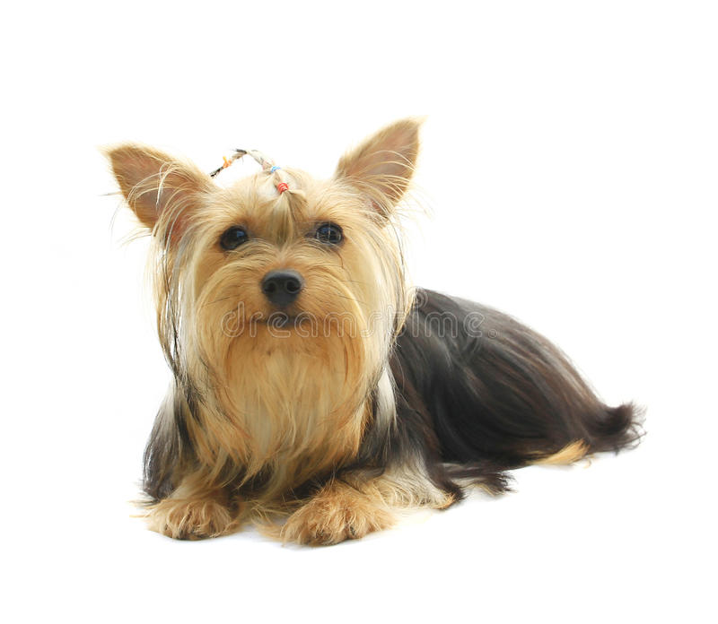 Download Yorkshire Terrier stock image. Image of portrait, attentive - 28643081