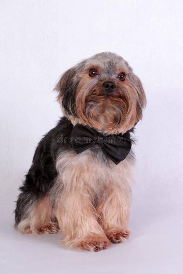 Download Yorkshire Terrier stock foto. Afbeelding bestaande uit mini - 29514448