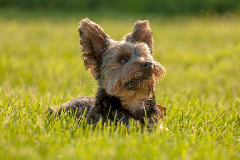Yorkshire Terrier royaltyfri foto