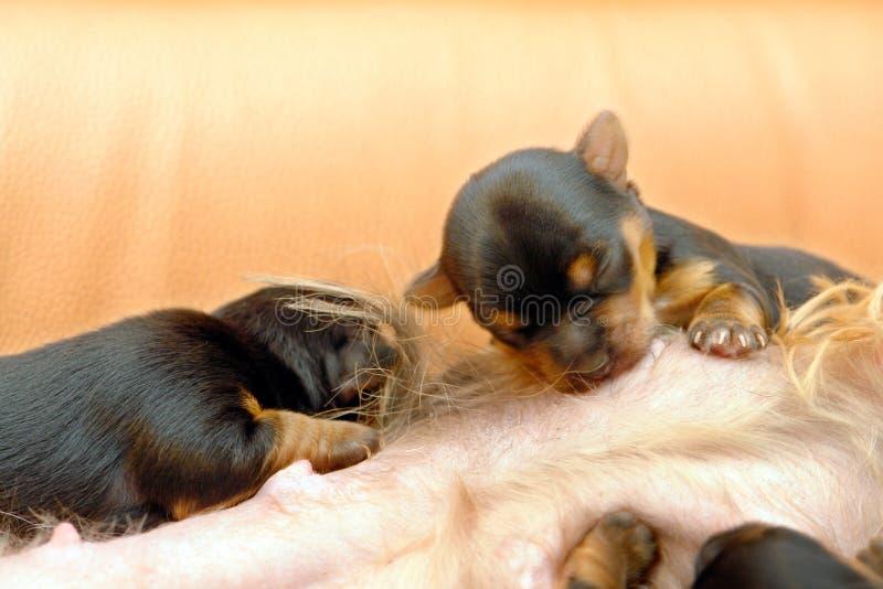 Yorkshire-Terrier stockbilder