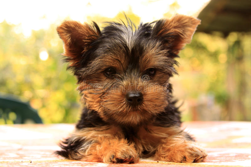 Yorkshire terrier fotos de stock royalty free