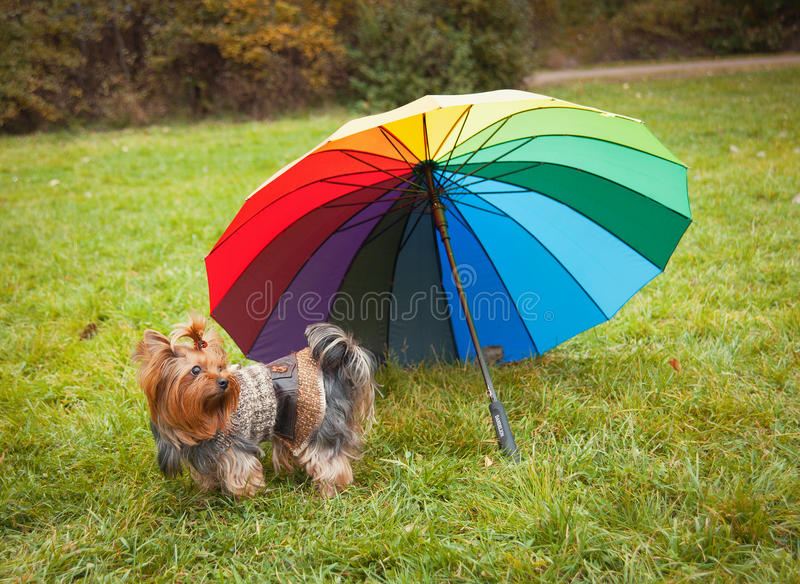Yorkshire Terrier royaltyfri foto