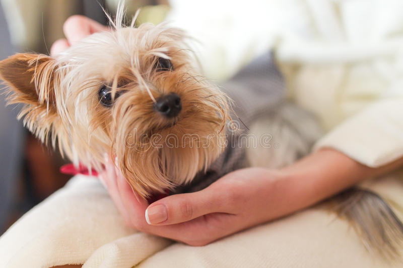 Yorkshire terrier immagini stock