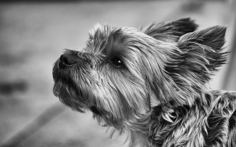 Yorkshire Terrier stock fotografie