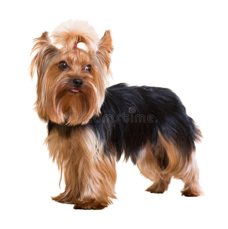 Yorkshire terrier imagem de stock royalty free