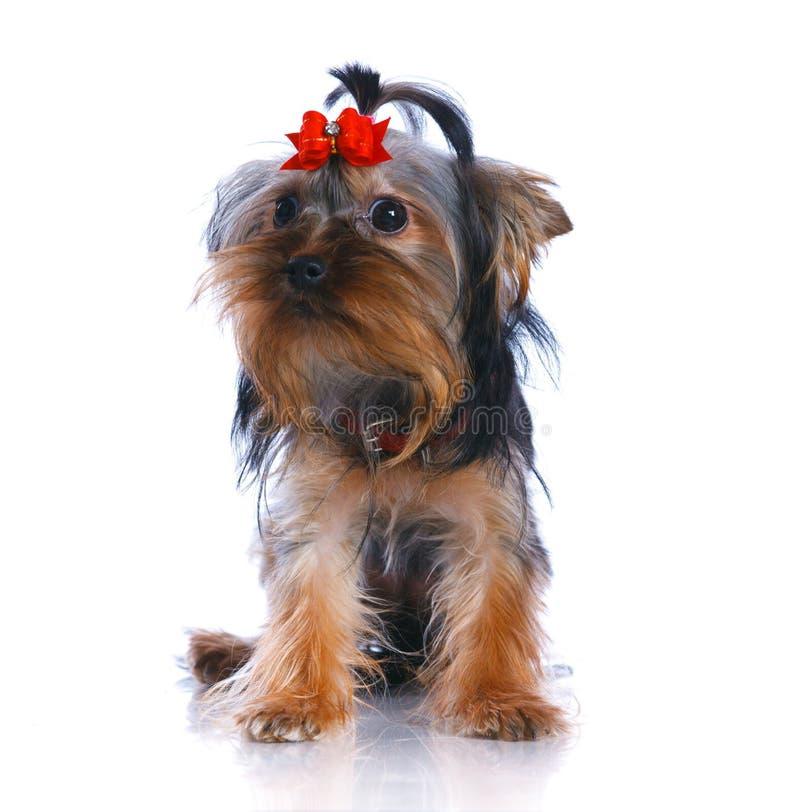 Yorkshire Terrier images libres de droits