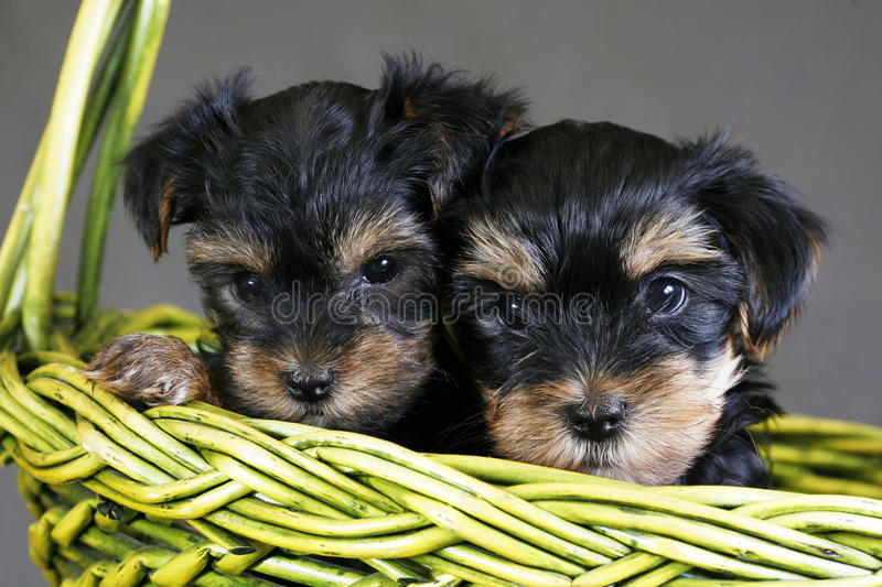 Yorkshire terrier fotos de stock