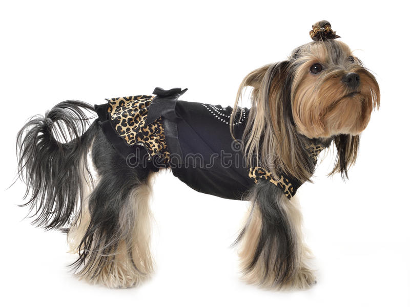 Yorkshire Terrier photographie stock