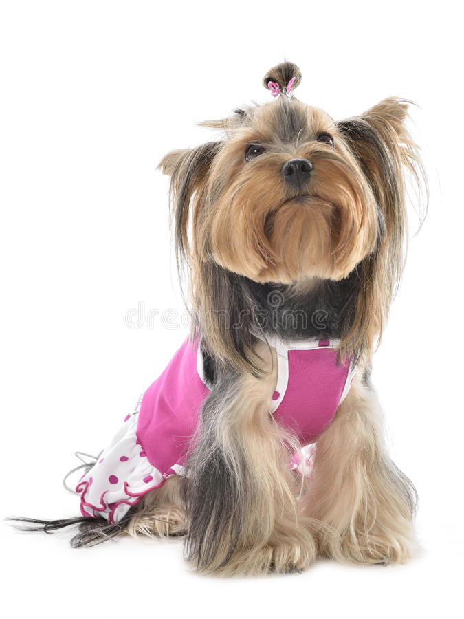Yorkshire Terrier photographie stock libre de droits