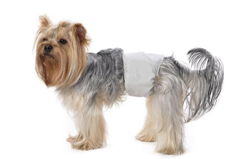 Yorkshire Terrier image libre de droits
