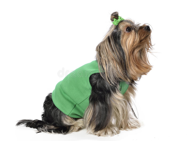 Yorkshire Terrier photos stock