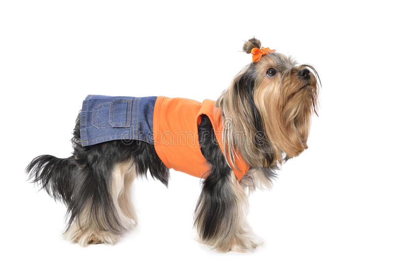 Yorkshire Terrier photos libres de droits