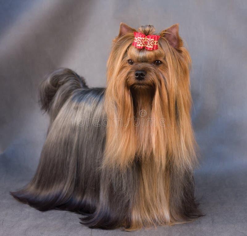 Free Yorkshire Terrier Stock Photos - 7846743