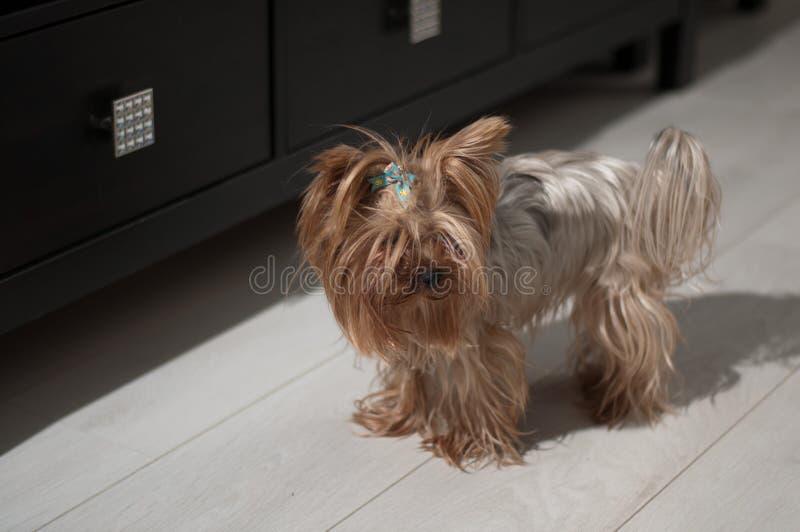 Yorkshire Terrier imágenes de archivo libres de regalías